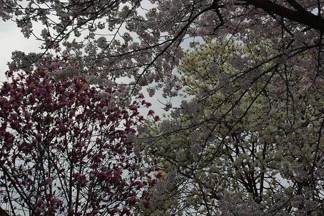桜二種と白木蓮