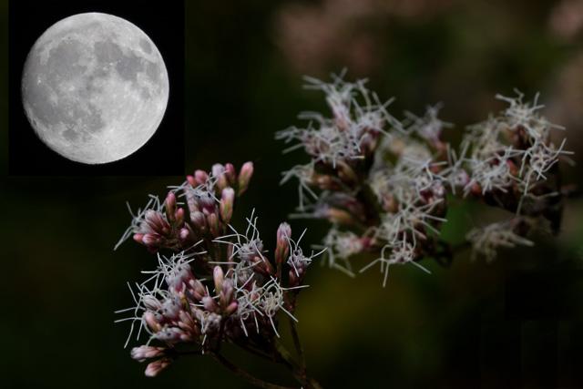 中秋の名月と藤袴
