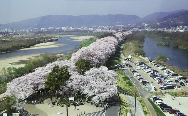 背割堤の桜 三川合流