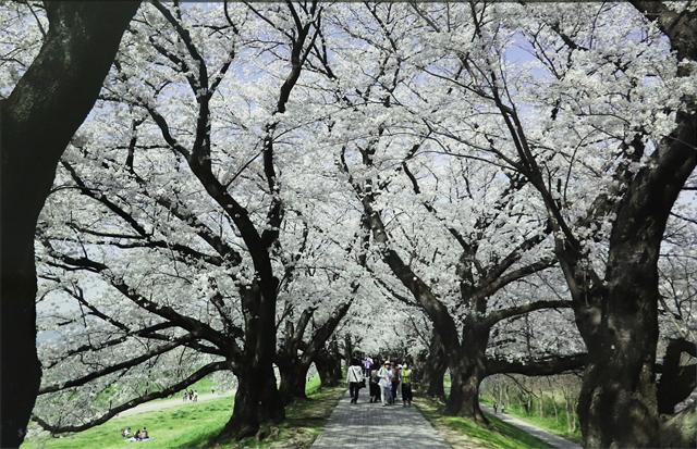 背割堤の桜 桜隧道