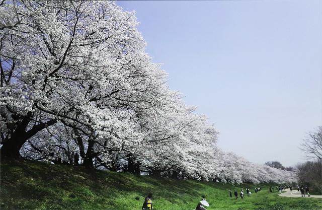 背割堤の桜 花竜