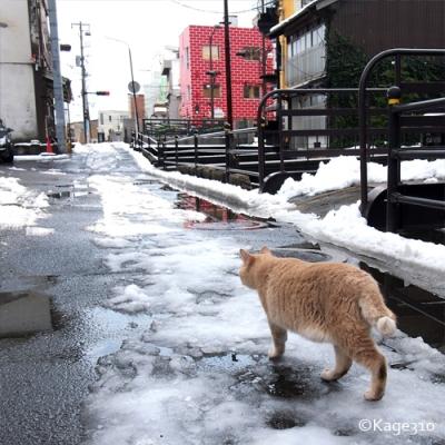 雪道を行くノラ猫の写真