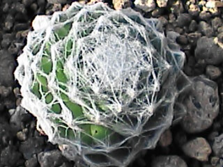 S. cantabricum x (S. arachnoideum x S. nevadense)と言う情報を見つけたけどこれかな?