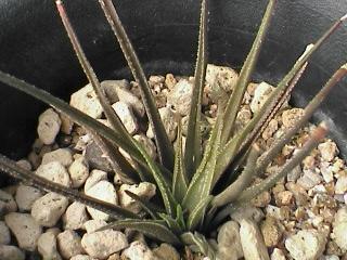 H.'triebneriana'x H.graminifolia