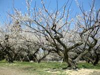 坂田城跡の梅林