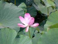 乾草沼の蓮