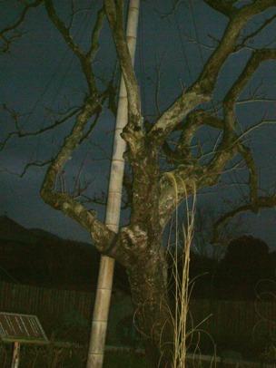 子規の句に詠まれた柿の木