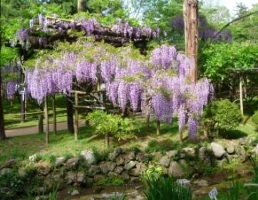 春日大社の藤 万葉植物園