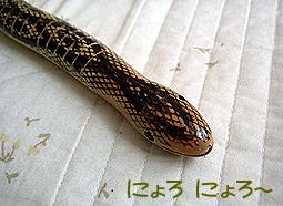 モクセイ科ヘビ目