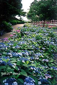 紫陽花の川