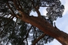 おっきい木