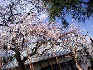慈眼寺しだれ桜1
