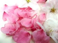 集めた桜の花びら