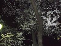 南桜公園の夜桜