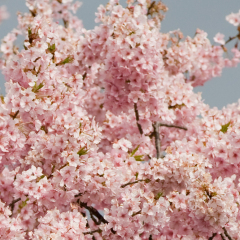 雑多な桜のイメージ