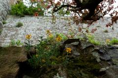 モンサンミッシェルの城壁の植生