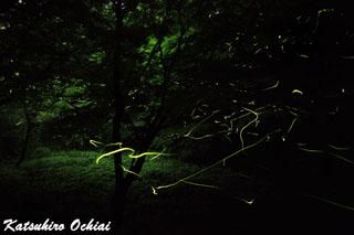 幻想的なホタルの写真、蛍、ゲンジボタル、ホタル、ほたる、県立四季の森公園