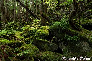 長野県、蓼科大滝、原生林、苔