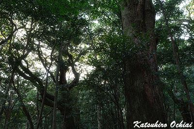 長崎県対馬市、豆酘龍良山、スダジイの森、天道信仰、天道法師、オソロシドコロ、原始林