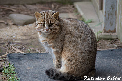 長崎県対馬市、対馬野生生物保護センター、ツシマヤマネコ