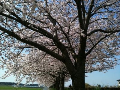 多々良の桜並木