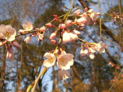 天竜峡の桜2008年1