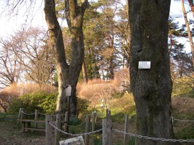 天竜峡の桜2008年2