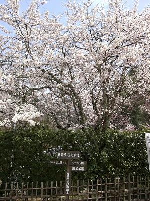 天龍峡桜2