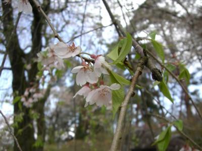 天竜峡の桜_2008年1