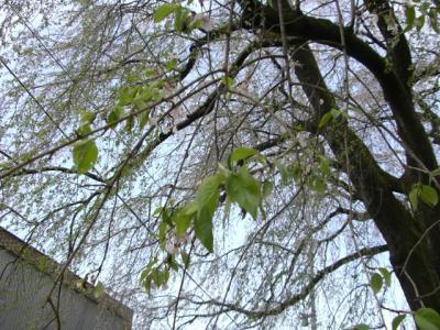 天竜峡の桜_2008年2