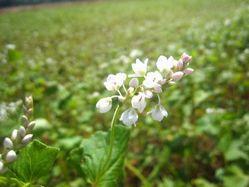 天龍峡 そばの花