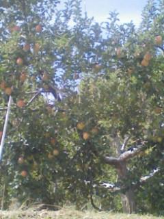 強風に負けなかったりんご達です。