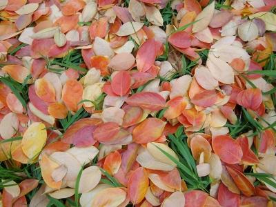柿紅葉 落葉