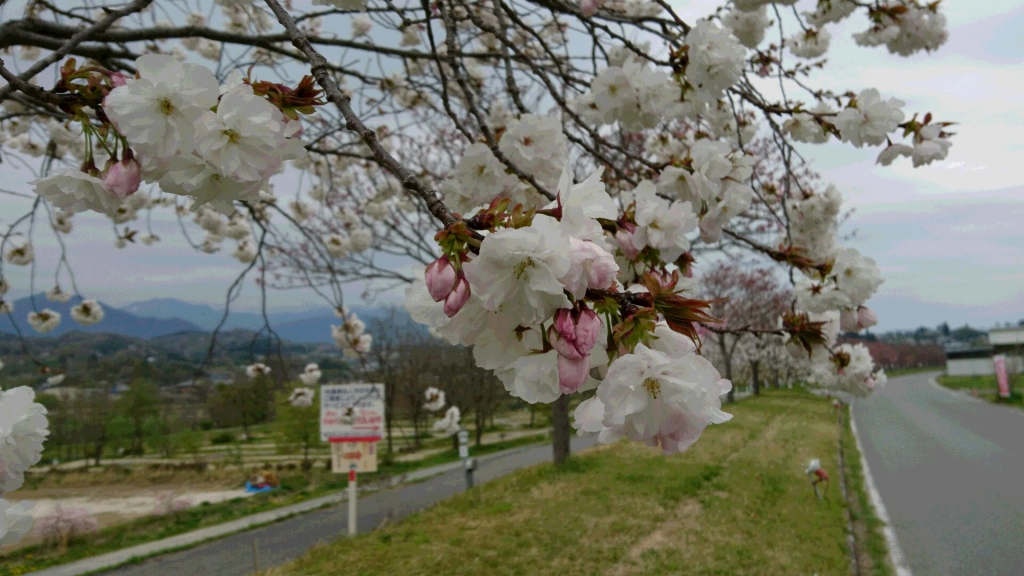 Flowering of cherry tree of tenryukyohachijusakuragaido began