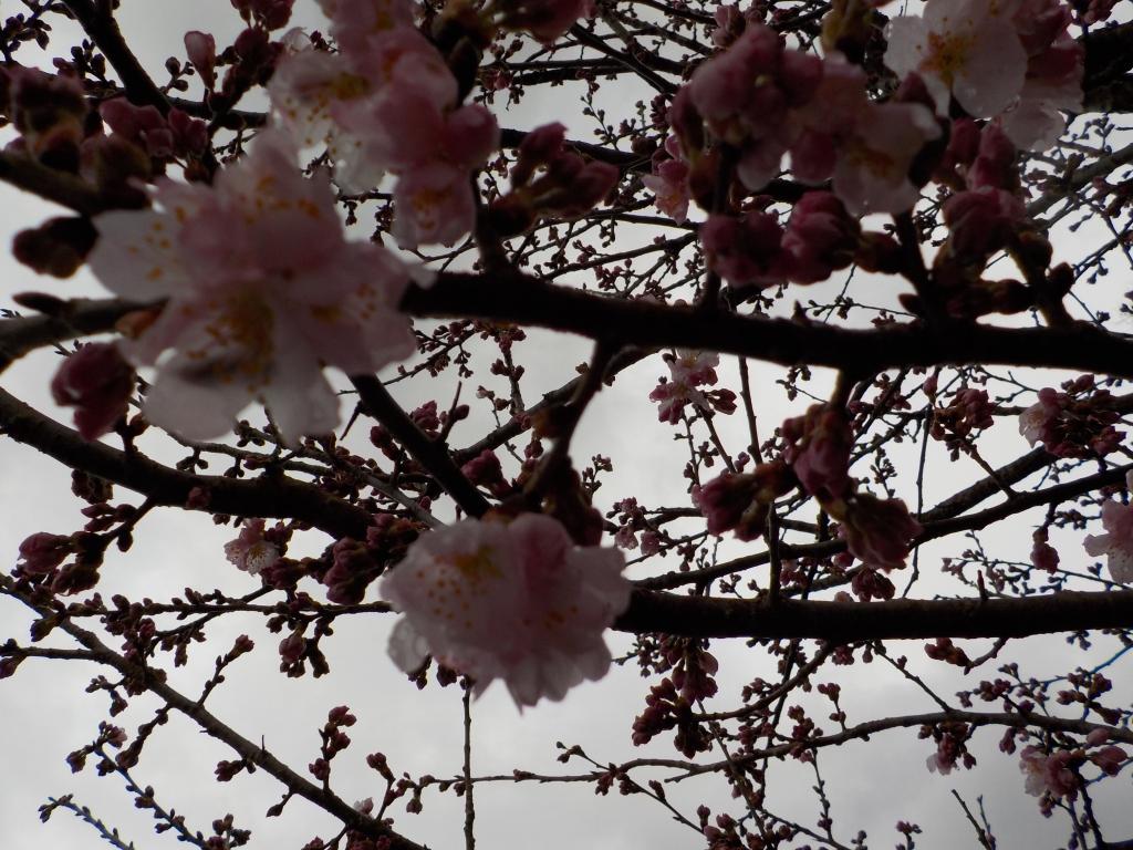 天龍峡の春めき桜 咲きました