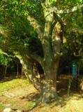 明石公園・連理の樟