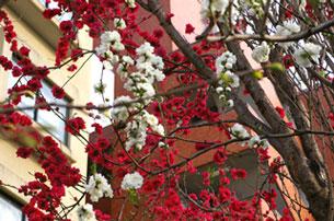 裏の小道の白・紅の桜