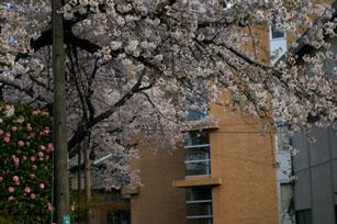 隣の借景の桜