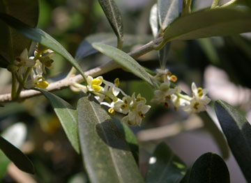 オリーブの花