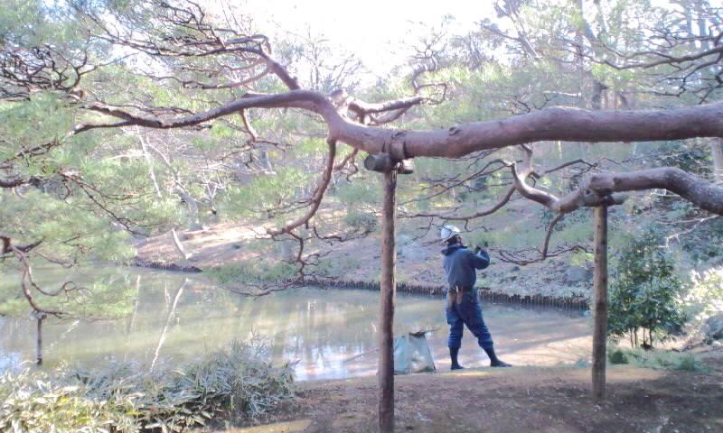 ML_六義園で松の木の剪定0001.jpg