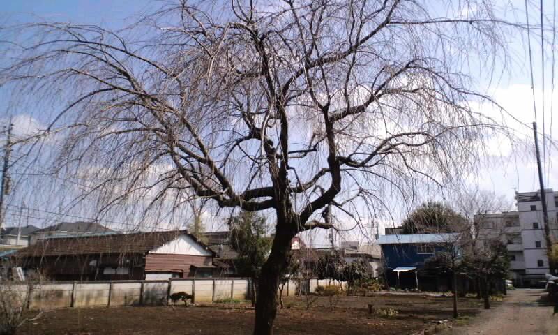 ML_120311枝垂れ桜、まだまだ蕾は固いよ.jpg