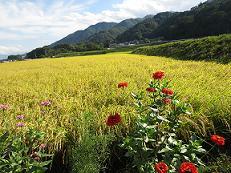 米 収穫前風景