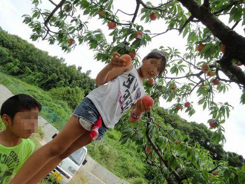 雨天でも桃狩りできる山梨御坂農園農場硬い桃