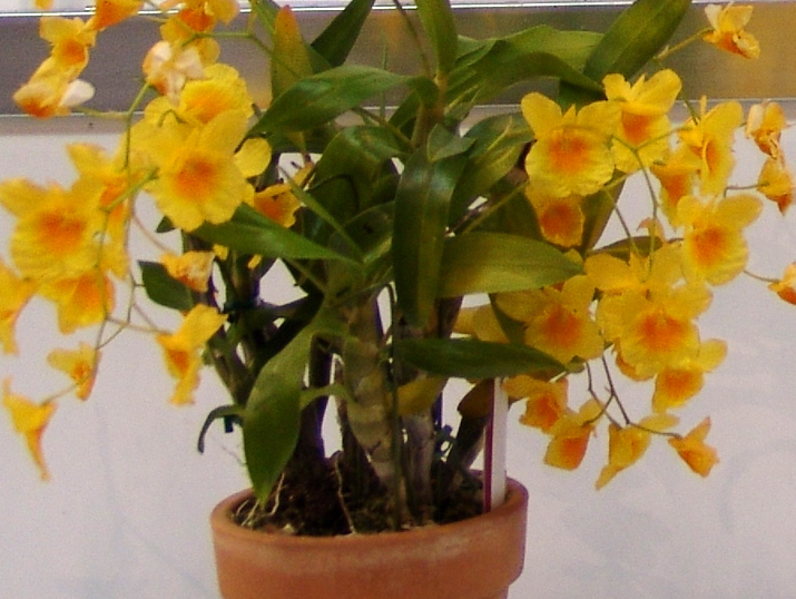 Dendrobium capillipes
