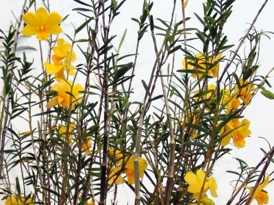 Dendrobium hainanense