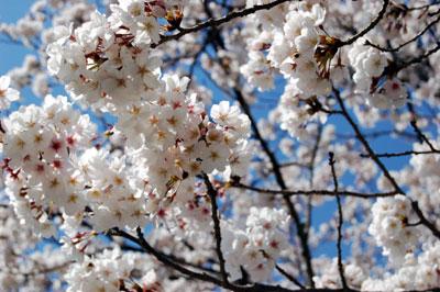 桜だらけ。