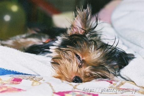 人が寝てるのになにやってんだ?と半ば飼い主にあきれている犬。