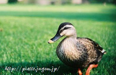 TDLの鴨。