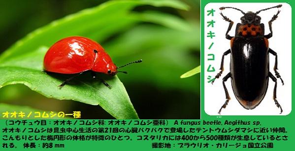 キノコムシ-1