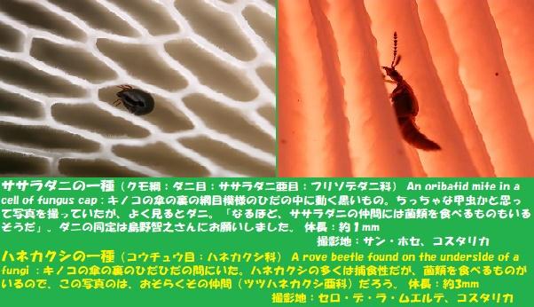 キノコムシ-3